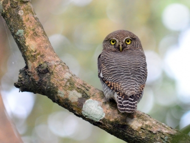 DSC_4011 Jungle Owlet