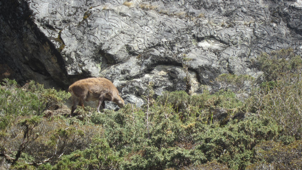 A musk deer seen on the trial between Namche and Tengboche