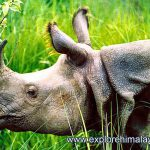 Population of One-Horned Rhino Increases in Nepal's Wildlife Parks