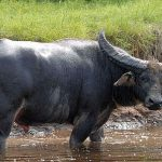 Population of endangered wild water buffalo increases at Koshi Tappu Wildlife Reserve