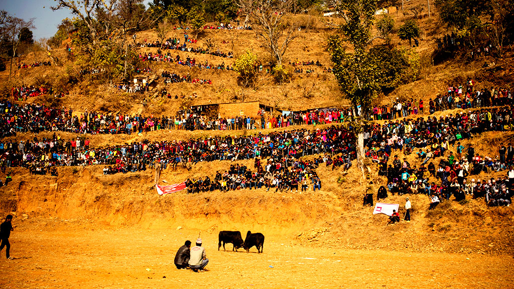 Ox fighting in Taruka of Nuwakot