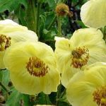 Nepalese Autumn Poppy, one of the Top Ten New Species discovered in 2011