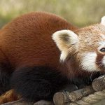 Red Pandas at Chiyatar Community Forest
