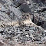 The Himalayan Grey Ghost, an Ultimate Snow Leopard Tour