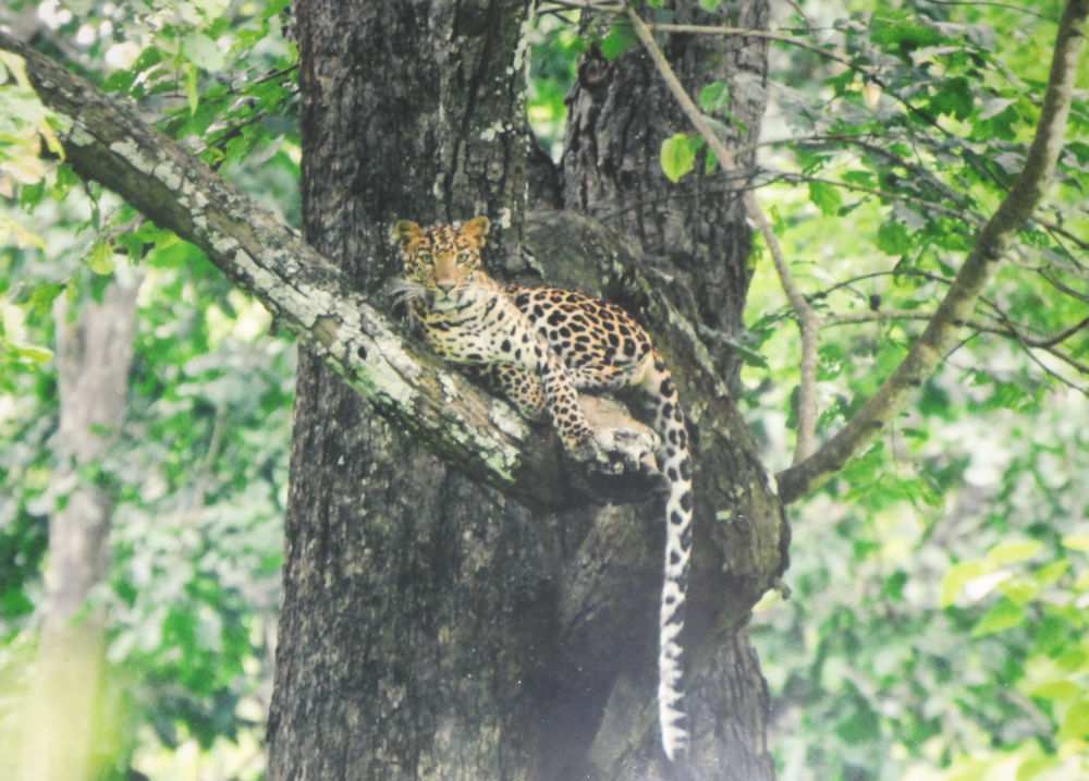 Elusive leopard at Chitwan National Park
